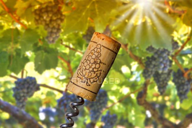 Close up of Corkscrew and cork against grape vine — Stock Photo