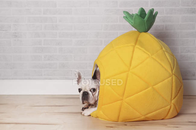French bulldog lying in pineapple shaped bed — Stock Photo