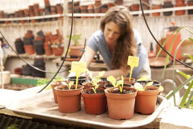 Seedlings in flowerpots with woman gardening in greenhouse — Stock Photo