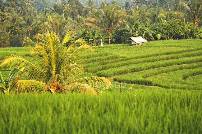 Indonesia, Bali, typical asian landscape with rice fields