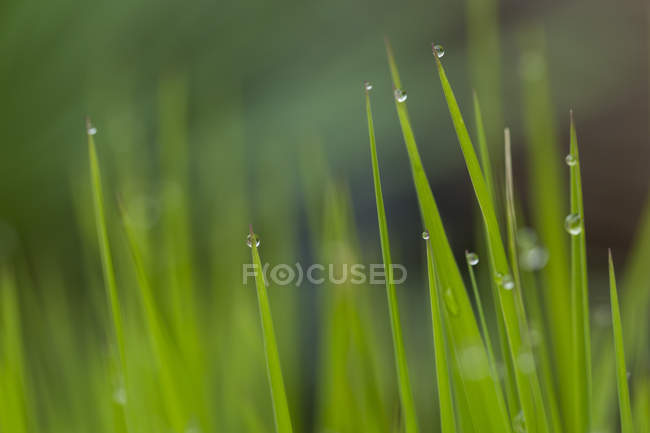 Grasses with water drops, close-up — Stock Photo