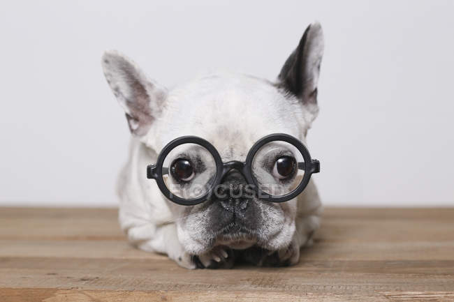 Portrait of French Bulldog wearing glasses — Stock Photo