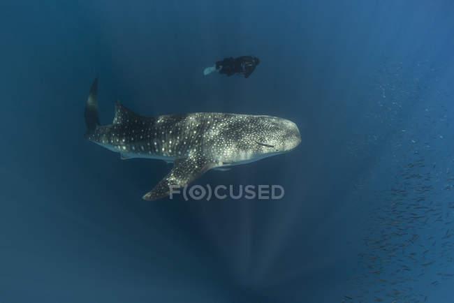 Indonesien, Cenderawasih-Bucht, Walhai und weibliche Taucher — Stockfoto
