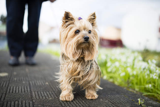 Yorkshire Terrier sitting on road and looking sideways — Stock Photo