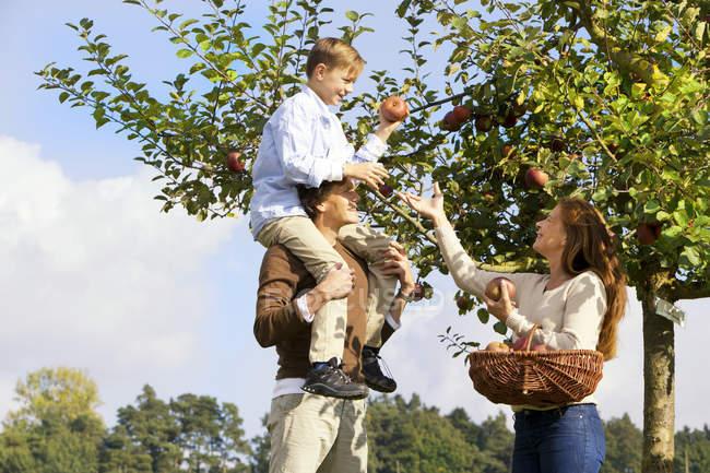 Famiglia che raccoglie mele dall'albero — Foto stock