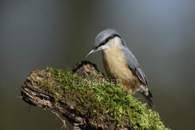 Vista de close-up de pássaro nuthatch em um ramo — Fotografia de Stock