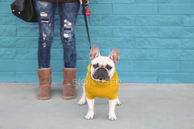 Обрезанное изображение женщины, стоящей с французским бульдогом в желтом вязаном свитере — стоковое фото