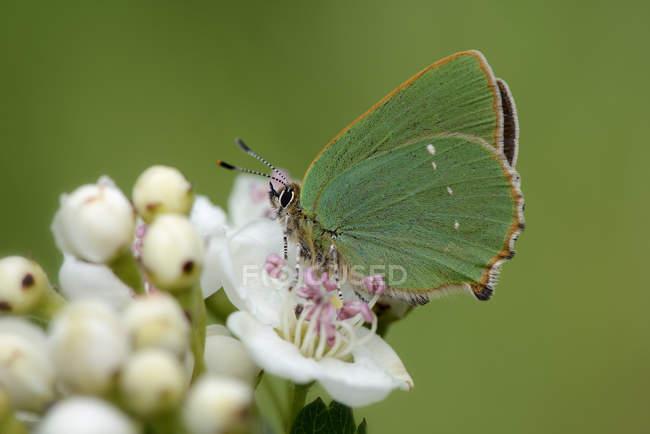 Green hairstreak on white blossom — Stock Photo