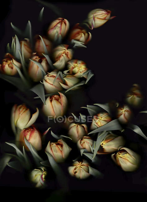 Куча тюльпанов на черном фоне — стоковое фото