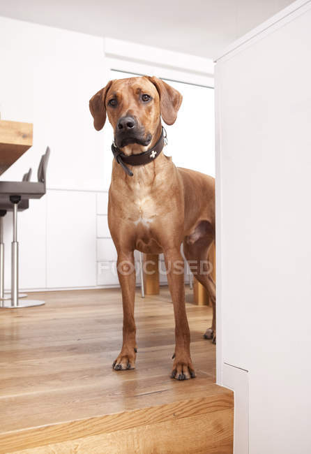Curious Rhodesian Ridgeback standing in room — Stock Photo
