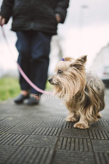 Closeup of Yorkshire Terrier going walkies at daytime — Stock Photo