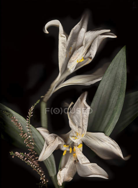 Withered white lillies in front of black background — Stock Photo