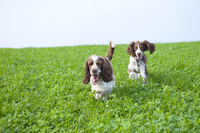 Two English Springer Spaniels running on meadow — Stock Photo