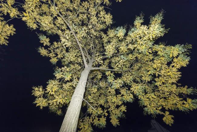 Нижній вид дерева в нічний час, майнула — стокове фото