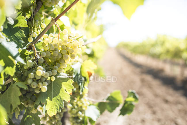 White grapes hanging from vine — Stock Photo