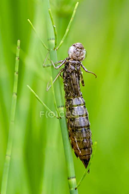 Larva da libélula sobre fundo verde turva — Fotografia de Stock