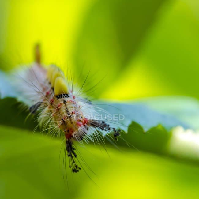 Гусеница ржавые Tussock моль на лист — стоковое фото
