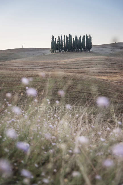 Italy, Tuscany, Val d'Orcia, group of cypresses — Stock Photo