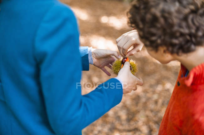 Close-up of Mother and son opening sweet chestnut — Stock Photo