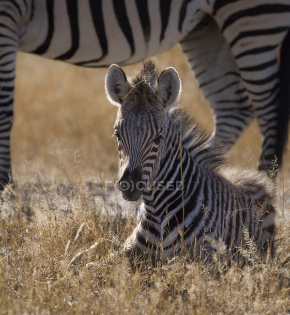 Simbabwe, Hwabge Національний парк, молоду зебру, що лежить в траві — стокове фото