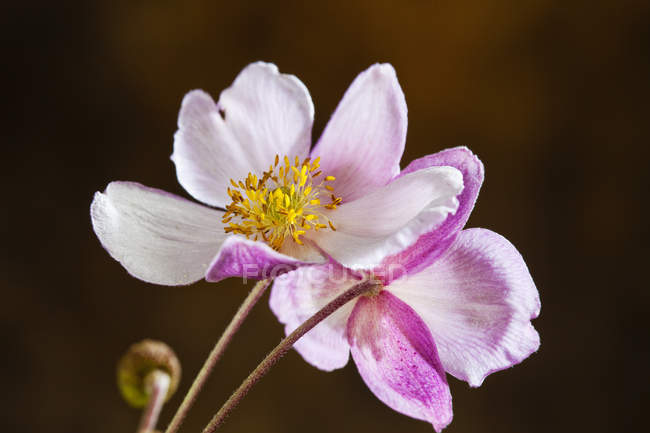 Closeup view of Anemone hupehensis colorful flowers — Stock Photo