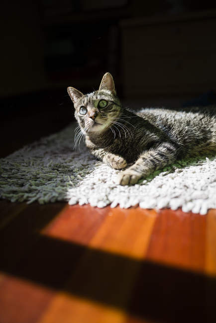 Tabby cat relaxing on carpet at home — Stock Photo