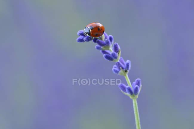 Sept spot ladybird, Coccinella septempunctata sur lavande — Photo de stock