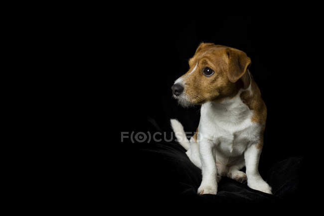 Terrier Jack Russel, assis en face de fond noir — Photo de stock