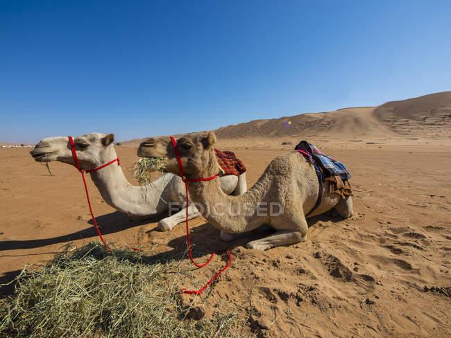 Oman, Al Raka, Al Rimal Wahiba do deserto, dois dromedários a descansar — Fotografia de Stock