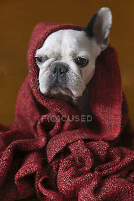 French bulldog wrapped in red blanket — Stock Photo