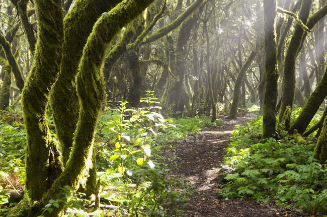 Spagna, Isole Canarie, La Gomera, foresta pluviale, foresta di alloro, sentiero — Foto stock