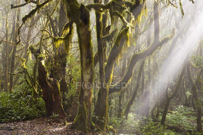 Espanha, Ilhas Canárias, La Gomera, Floresta de nuvens, Floresta de Laurel — Fotografia de Stock
