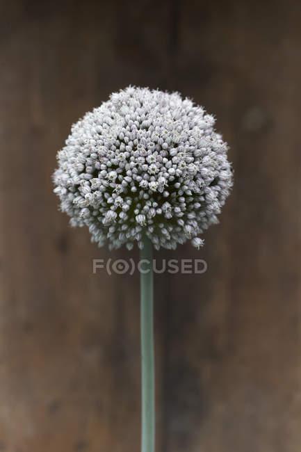 Floraison de poireau sur fond flou sombre — Photo de stock