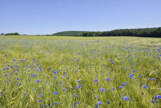 Germany, Bavaria, Franconia, Cornflowers in wheat field — Stock Photo