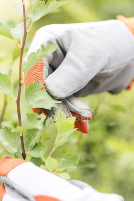 Mão de jardineiro examinando folhas de uma planta — Fotografia de Stock