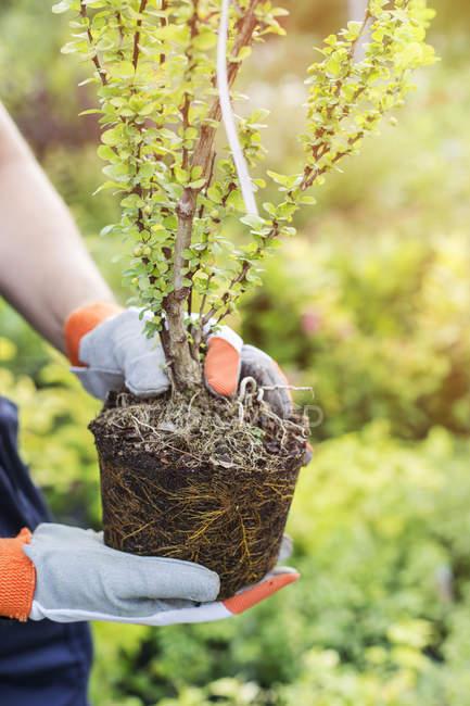 Hands of gardener holding plant — Stock Photo