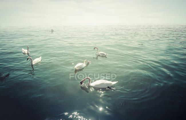 Група mute лебедів на озері в підсвічування — стокове фото