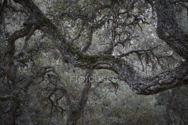 Корк дубовый лес, монохромное изображение — стоковое фото