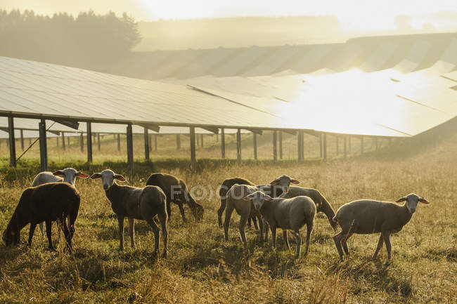 Germany, sheeps grazing on a field with solar panels in the morning light — Stock Photo