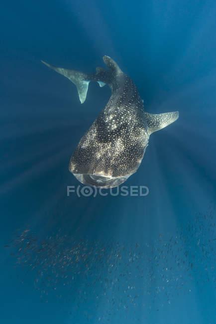 Індонезія, Папуа, Cenderawasih-Бей, китова акула підвищений подання — стокове фото