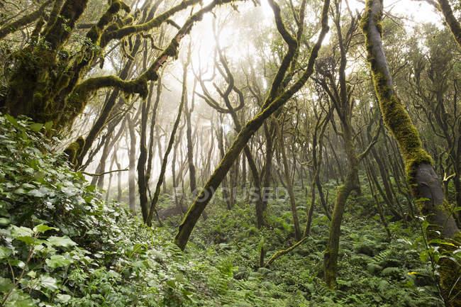 Іспанія, Канарські острови, Ла Гомера, Хмарний ліс, Laurel ліс — стокове фото