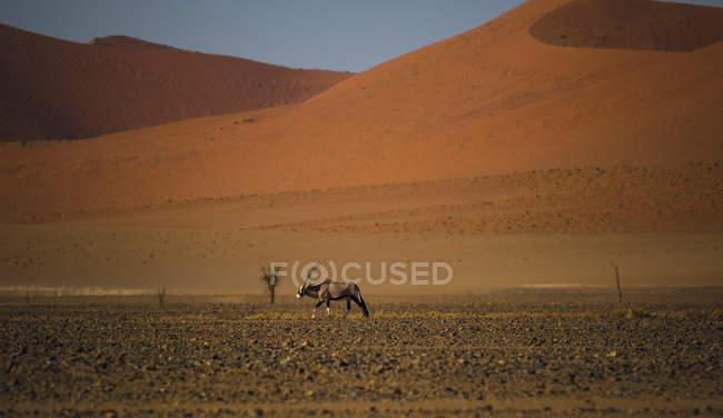 Намибия, Орикс антилопы, ходить в пустыне Намиб — стоковое фото