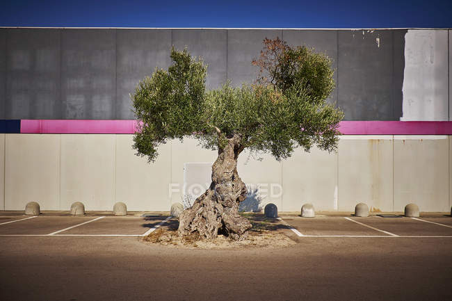 Italy, Apulia, Olive tree on parking place in Cavallino — Stock Photo