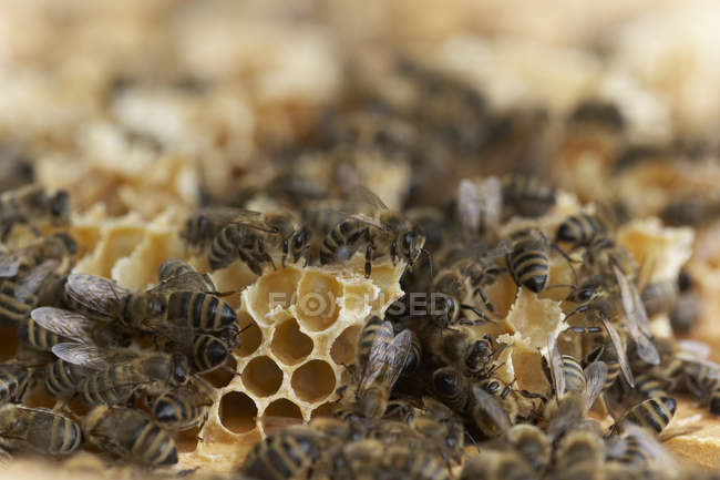 Colonie d'abeilles, gros plan — Photo de stock