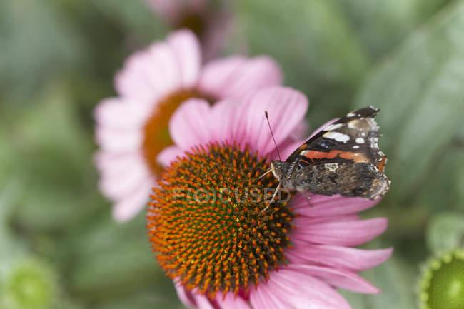 Papillon sur fleur d'échinacée — Photo de stock
