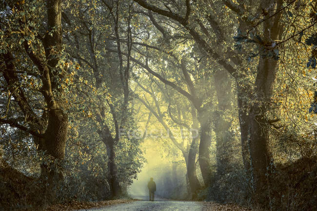 Italy, Tuscany, Val d 'Orcia, person on tree-lined road in morning fog — стоковое фото