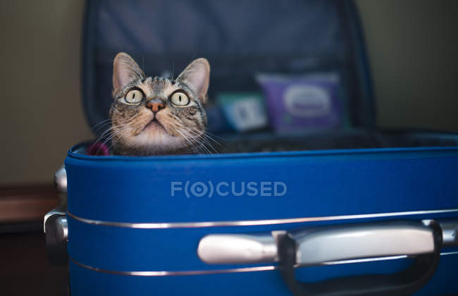 Tabby cat sitting inside blue suitcase and looking up — Stock Photo