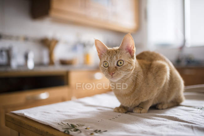 Portrait of starring cat sitting on kitchen table — Stock Photo