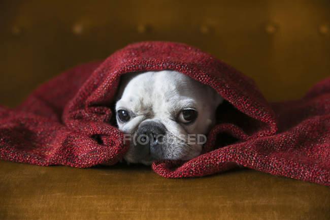 Французский бульдог, завернутый в красное одеяло — стоковое фото