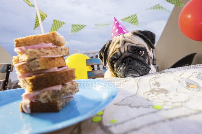 Pug portant chapeau de fête à la table regardant sandwich — Photo de stock
